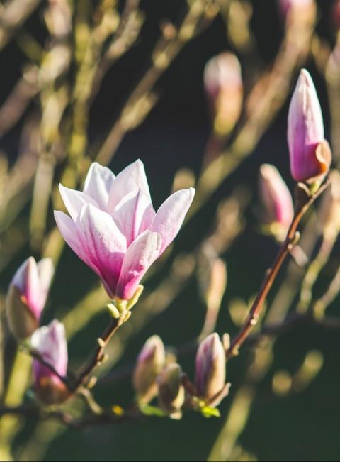Magnolias blooming in Spring